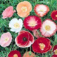 POPPY Shirley Single Mix 500+ seeds flower garden