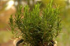 100PCs Rosemary Herb Seeds Rosmarinus officinalis Medical Plants Bonsai Potted🌿