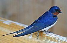 Birds: Barn sBirdow (Hirundo rustica). Bird Art .  13x19 Print