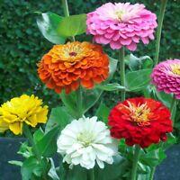 ZINNIA ELEGANS Flower Seeds * PUMILA MIX * Dahlia Bouquet Butterfly Heirloo BULK