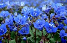 Bluebell Seeds, California Bluebells, Heirloom Wildflower Seeds Non-Gmo, 100ct