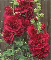 30+  HOLLYHOCK LIPSTICK RED CHATERS DOUBLE, EASY TALL, PERENNIAL FLOWER SEEDS