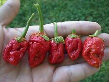 (10) STRAWBERRY BUBBLEGUM 7 Pot Hot Pepper Chilli Seeds ****Blazing HOT****