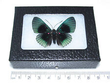 REAL PERUVIAN LYROPTERYX APOLLONIA METALMARK FRAMED BUTTERFLY INSECT