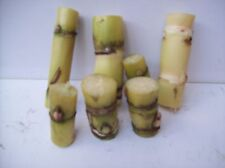 """Organic Sugar Cane Green Yellowish 18 nodes for Planting About 2 """" Each Stick"""