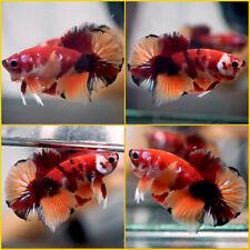 New ListingLive Betta Fish Fancy Nemo Koi Halfmoon Plakat Male #A354