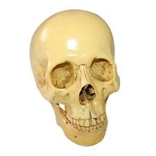 Life Human Anatomical Anatomy Resin Skull Head Skeleton Teaching Model 1:1 Size