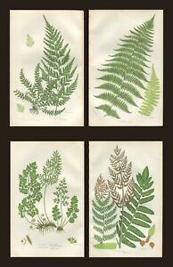 Lot of 4 Original Antique Victorian PRATT Fern Prints Botanical 1862 - Lot 10