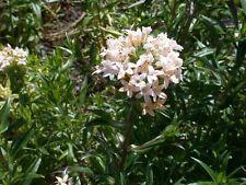 100 LARGE FLOWERED PHLOX Collomia Grandiflora Seeds