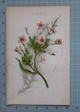 1880 Imprimir tabaco botánica