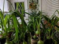 Huge Exotic Plant! Pregnant Onion! Long Life! - LOOK!  Buy One Get One! BOGO
