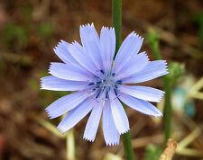 1000 CHICORY / BLUE DAISY Succory Chicorium Cicorium Intybus Flower Herb Seeds