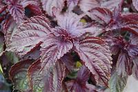 300+ Samen Perilla frutescens var. crispa - Rotes Shiso , Schwarznessel