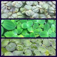 Red Root Floater / Frog Bit / Dwarf Water Lettuce Floating Pond/Aquarium Plants