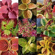 100 Samen Buntnessel Mischung Rainbow Coleus blumei Solenostemon