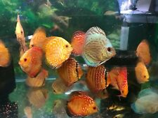 10 x 2.5 to 3 inch  Discus tropical fish discus tank aquarium keeper,