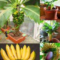100Pcs Rare Dwarf Banana Tree Seeds Mini Bonsai Seed Exotic Home Garden Plants