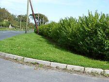 100 Green Privet Hedging Plants Ligustrum Hedge 40-60cm,Dense Evergreen,Big Pots