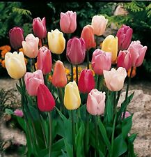 30 Tulip Bulbs Mixed Colours Home Garden Bouquet Decor Fashion Beautiful Flower