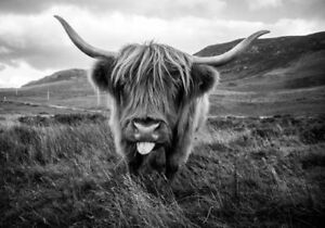 Highland Cow Scottish Farm Natural Black & White Animal Quality Canvas Print A3