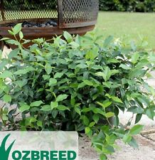 FLAT MAT Trachelospermum asiaticum Star Jasmine groundcover plant in 125mm pot