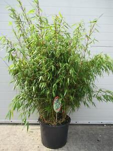 Fargesia rufa - Schirmbambus - Heckenbambus bildet KEINE Rhizome