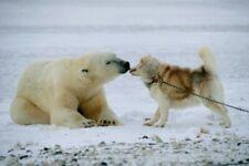 Thomas D. Mangelsen's Polar Kiss, Polar Bear, Husky, Dog, Not Framed