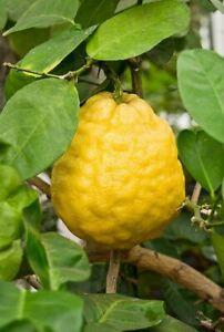 Citrus limon PONDEROSA LEMON Tree SEEDS!