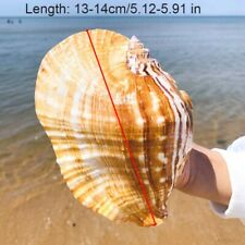 Natural Ellobium Shell Conch Large Sea Snail Fish Tank Aquarium Furnishing