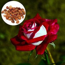 New 20xRed White Osiria Ruby Rose Flower Rare Seed Flower Home Garden Love Decor