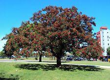 Ceibo - ERYTHRINA CRYSTA-GALLI -  5 Semillas - Árbol del Coral - Jardín - Garden
