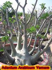 Adenium Arabicum (desert rose) Yemen, 5 seeds