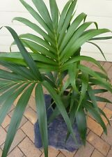 Plants Kentia Palms Triple Planted                   $38-ea