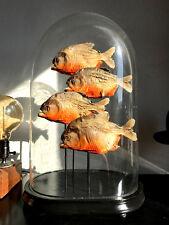 Cabinet de curiosités Taxidermie Globe de marié Napoleon PIranhas Pygocentrus!!