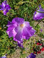 der blau-violette Hibiskus ist eine wunderschöne Blume !