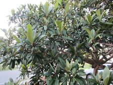 20 LOQUAT TREE leaves fresh picked for tea or herbal remedy