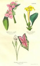 BOTANICALS. Tradescantia tumida; fagroea zeylanica; caladium bicolor 1852