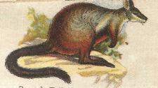 Vintage tobacco cigarette silk card - Birds & Animals Of Australia, Rock Wallaby