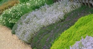 8 Different Super Ground Cover, Perennials, Alpines, Plug Plants , All Named