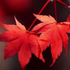 10PCS JAPANESE MAPLE TREE Acer Palmatum Red Maple Seeds High Quality