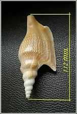 Collectible Sea Shell STROMBIDAE Mirabilistrombus listeri Seashell Conch 112mm#E