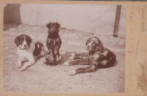 foto photo albumina cabinet card  gruppo di cani by B. Coppola Ascoli Piceno