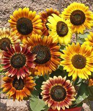 ORGANIC FLOWER SUNFLOWER AUTUMN BEAUTY 75 FINEST SEEDS