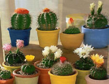 CACTUS   Novelty Mix      10  SEEDS