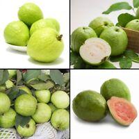 80pcs Guava Seeds Delicious Tropical Fruit seed Non Transgenic Plants bonsai