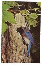 BLUEBIRD Blue Bird Information on Nesting Boxes Nat'l  Audubon Society Postcard