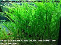 BUY 2 Get 1 FREE Hygrophila Angustifolia Fish Tank Plants Aquarium Plants Easy