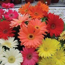 100 Seeds Gerbera Daisy Hybrids Mix Flower Seeds Bonsai Plants Seeds