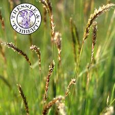 Rare SWEET VANILLA GRASS ANTHOXANUM ODORATUM  approx 100 seeds  UK SELLER