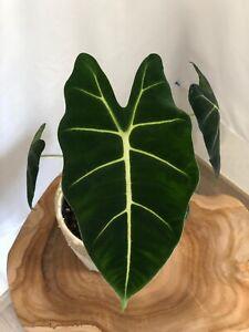 Alocasia Frydek /Rarität / 30cm Hoch / Pflanze